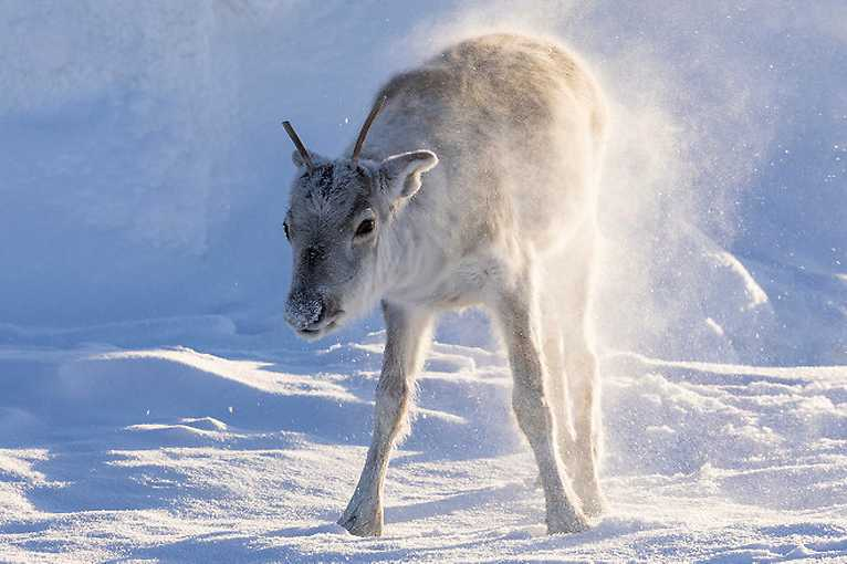 Ailo's Journey - The Amazing Odyssey of a Newborn Reindeer