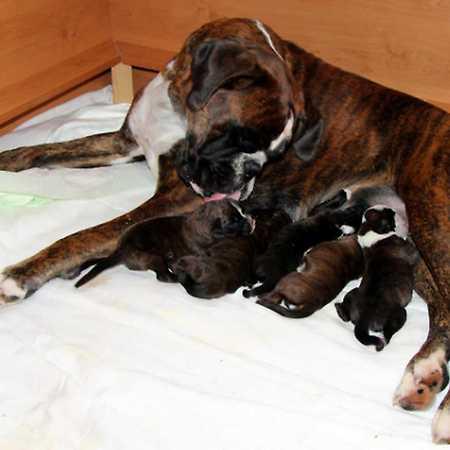 Reprodukce psů – porod